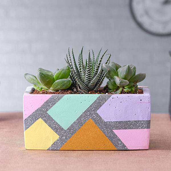 Set of 3 Howarthia in Rectangle Concrete Pot - Nurserylive