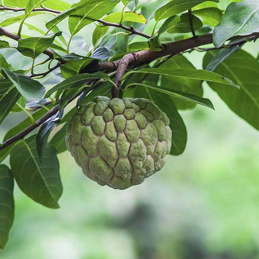 Sitaphal, Annona squamosa (Grafted) - Plant - Nurserylive