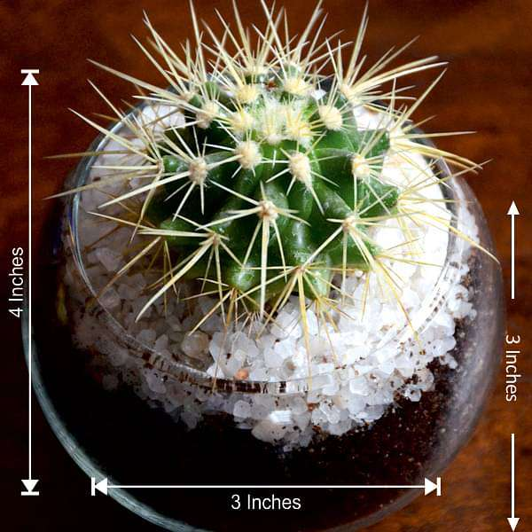 Small cactus spherical bowl (3in Ht) - Nurserylive