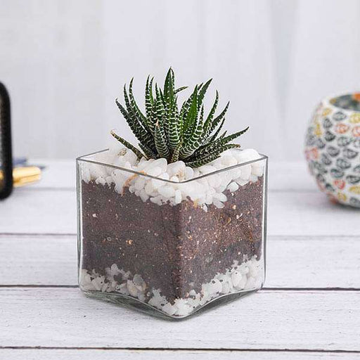 Small Haworthia in 3 inch (8 cm) Square Glass Vase - Nurserylive