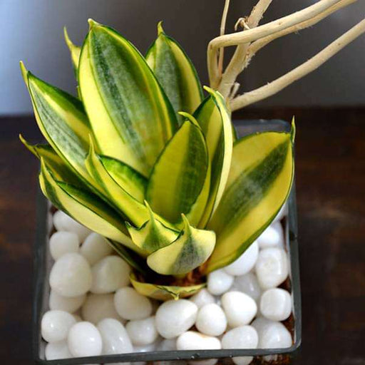 Snake plant in square glass pot (4in Ht) - Nurserylive