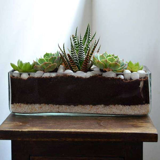 Succulent in rectangle glass pot (3in Ht) - Nurserylive