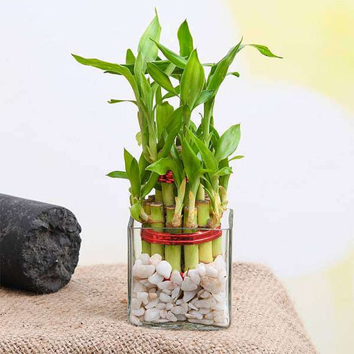 Symbol of Good Luck 2 Layer Lucky Bamboo - Nurserylive