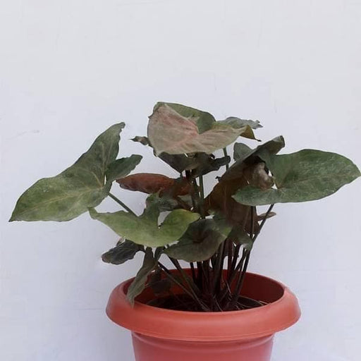 Syngonium ( Red Green ) - Plant - Nurserylive
