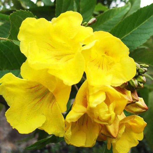 Tecoma (Shrub, Any Color) - Plant - Nurserylive