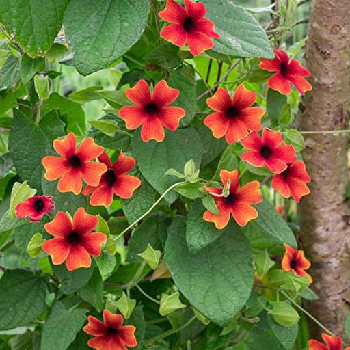 Thunbergia (Any Color) - Plant - Nurserylive