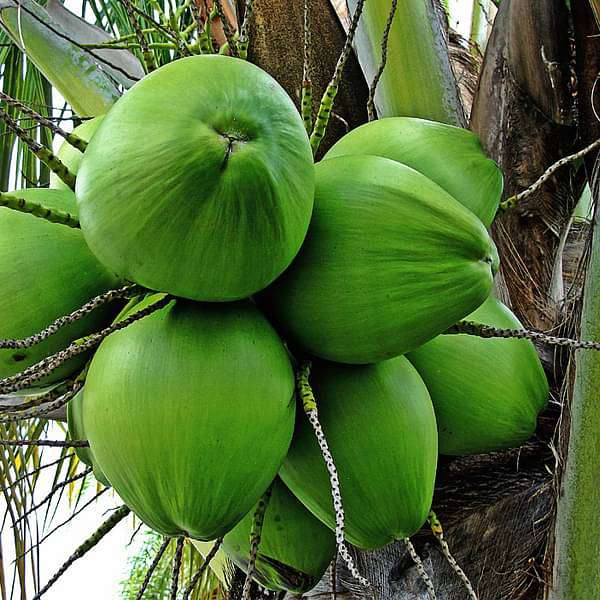 Tree of Kerala, Coconut - Plant - Nurserylive