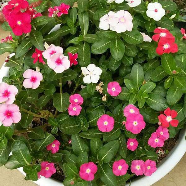 Vinca, Catharanthus roseus (Any Color) - Plant - Nurserylive