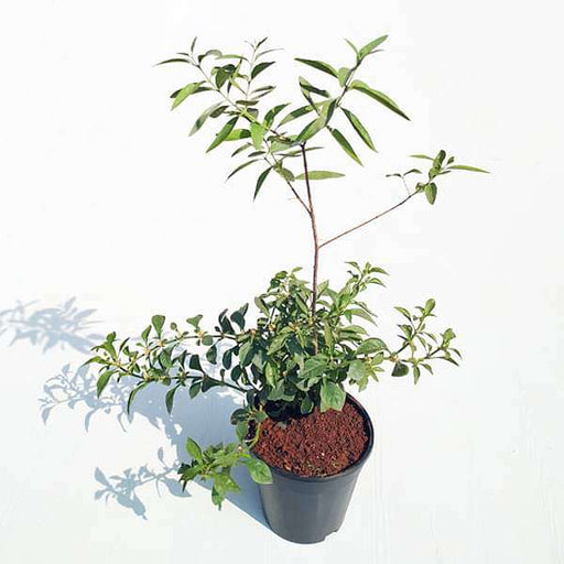 White Sandalwood Tree, Chandan Tree - Plant - Nurserylive