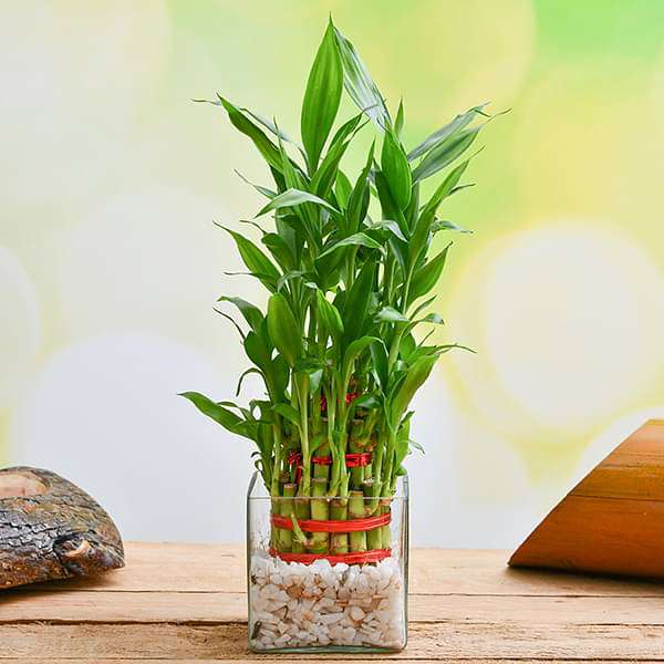 Wish Good Fortune with 3 Layer Lucky bamboo in Glass Vase with Pebbles - Nurserylive