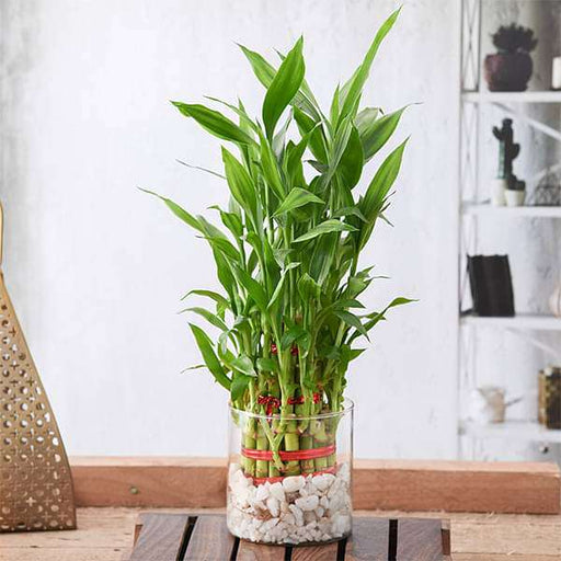 Wish Good Luck With 3 Layer Lucky Bamboo in a Glass Vase with Pebbles - Nurserylive
