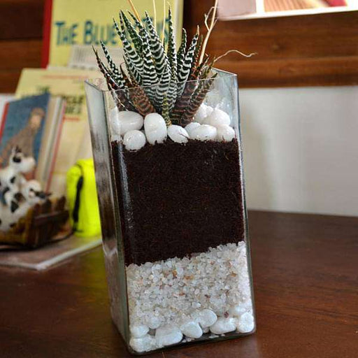 Zebra cactus in cylindrical square glass pot (9in Ht) - Nurserylive