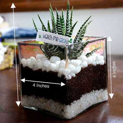Zebra cactus in square glass pot (4in Ht) - Nurserylive