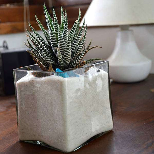 Zebra cactus in white sand square glass pot (4in Ht) - Nurserylive