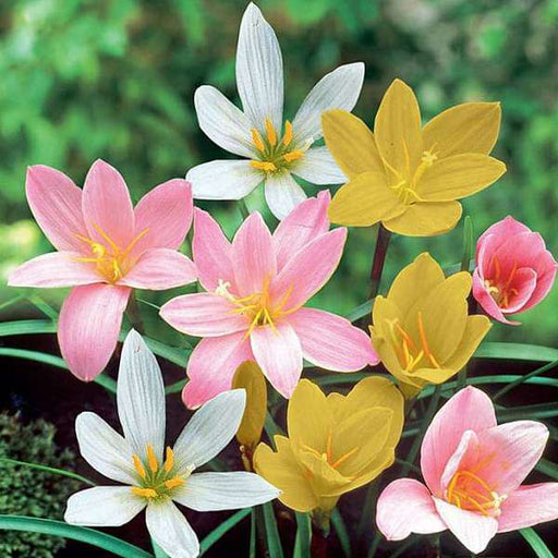 Zephyranthes Grandiflora, Rain Lily (Any Color) - Plant - Nurserylive