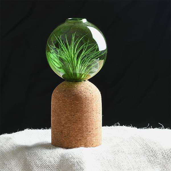 Zinn - Air Plant - Nurserylive