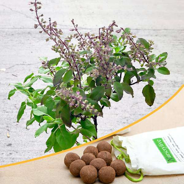 Buy Krishna Tulsi - 20 Seed balls online from Nurserylive at lowest price.
