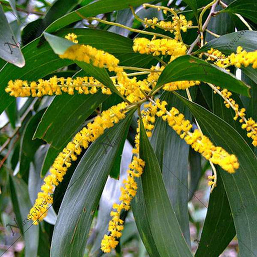 Buy Acacia Auriculiformis Australian Babul 0 5 Kg Seeds Online From Nurserylive At Lowest Price