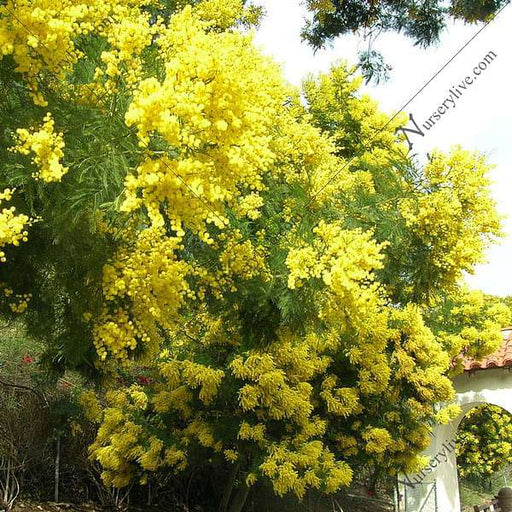 Acacia Decurrens, Black Wattle - 0.5 kg Seeds - Nurserylive