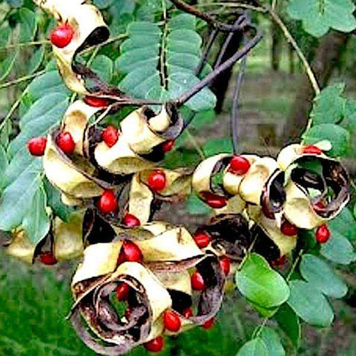 Adenanthera Pavonina, Red Lucky Seeds ( 1 kg ) - Seeds - Nurserylive