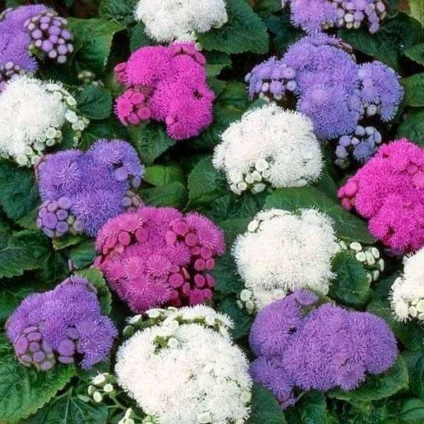 Ageratum F1 Hawaii Mixed Color - Flower Seeds