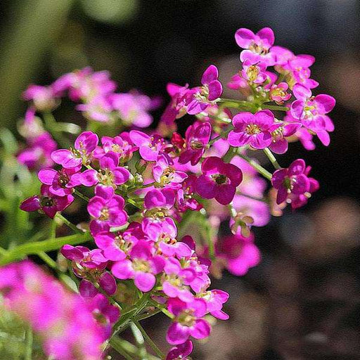Alyssum Rosie O Day - Flower Seeds - Nurserylive