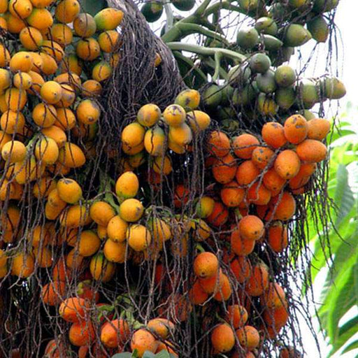 Areca Catechu, Betel Palm - 0.5 kg Seeds - Nurserylive