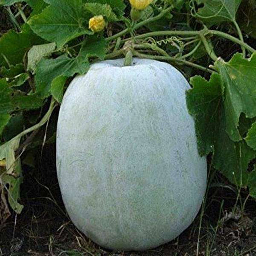 Ash Gourd, Methai Petha, Agri Petha - Vegetable Seeds - Nurserylive