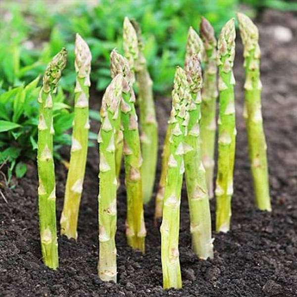 Asparagus UC-157 - Vegetable Seeds - Nurserylive