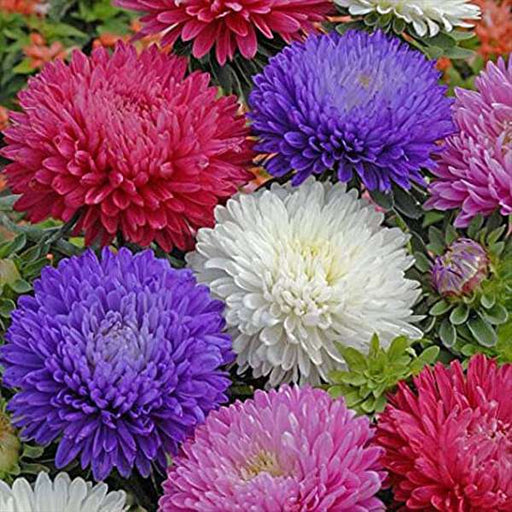 Aster Formula Mixed Colors - Flower Seeds - Nurserylive