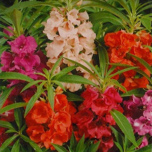 Balsam Double Mixed Color - Desi Flower Seeds - Nurserylive