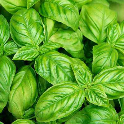 Basil Leaf Italian Broad - Herb Seeds - Nurserylive