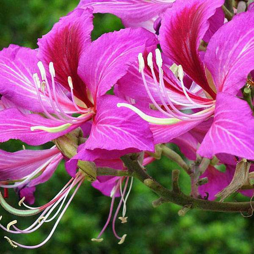 Bauhinia Purpurea, Purple Orchid Tree - 0.5 kg Seeds - Nurserylive