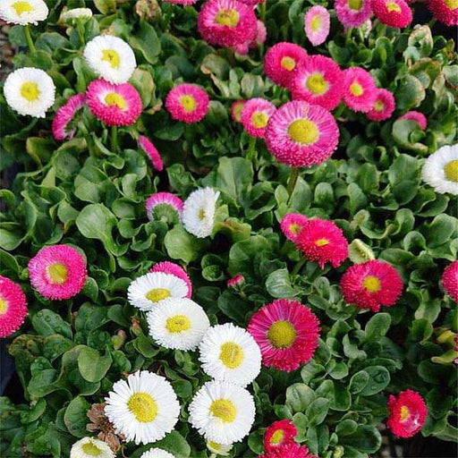 Bellis Perensis, Daisy Mixed Color - Flower Seeds - Nurserylive