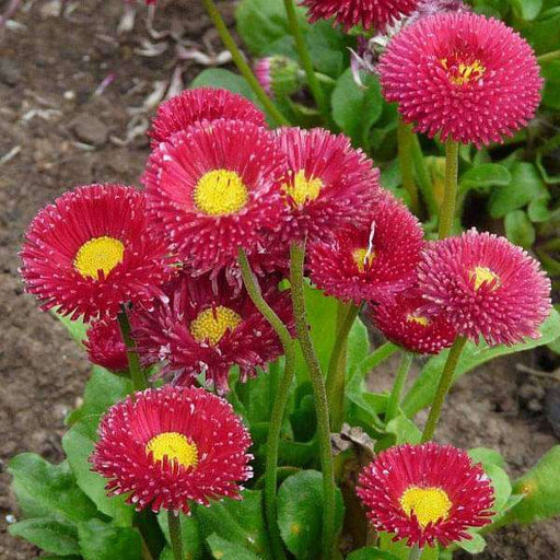 Bellis Perensis, Daisy Red - Flower Seeds - Nurserylive