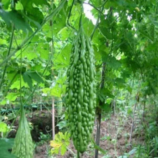 Bitter Gourd Chaman - Desi Vegetable Seeds - Nurserylive