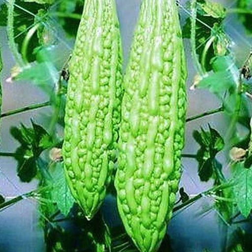 Bitter Gourd Jhalri Long - Desi Vegetable Seeds - Nurserylive