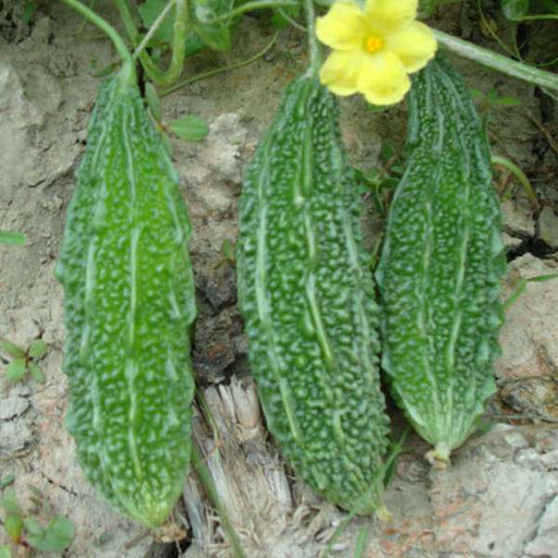 Bitter Gourd Jonpuri - Desi Vegetable Seeds - Nurserylive
