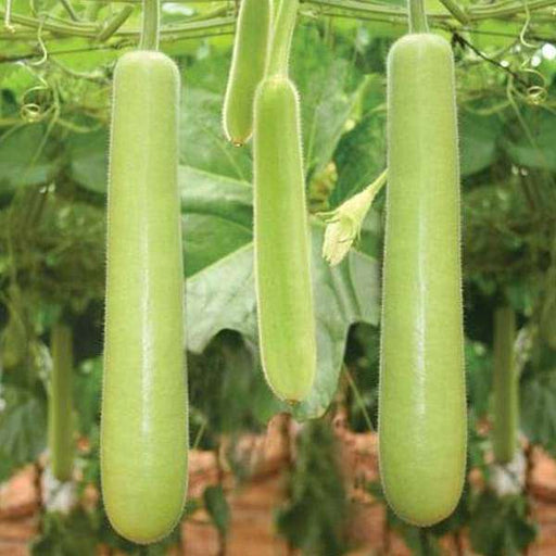 Bottle Gourd Extra Long - Organic Vegetable Seeds - Nurserylive