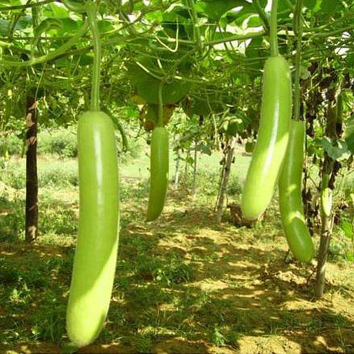 Bottle Gourd Pusa Komal - Desi Vegetable Seeds - Nurserylive