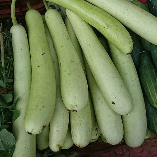 Bottle Gourd Pusa Naveen - Desi Vegetable Seeds - Nurserylive