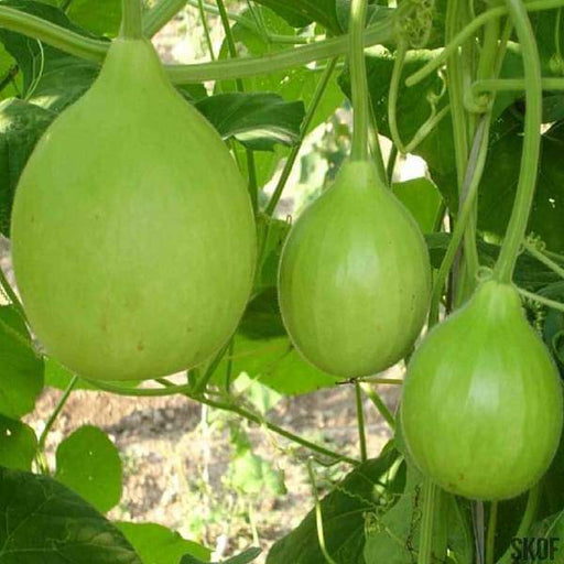Bottle Gourd Round - Desi Vegetable Seeds - Nurserylive