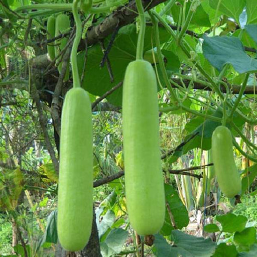 Bottle Gourd Summer Special - Desi Vegetable Seeds - Nurserylive