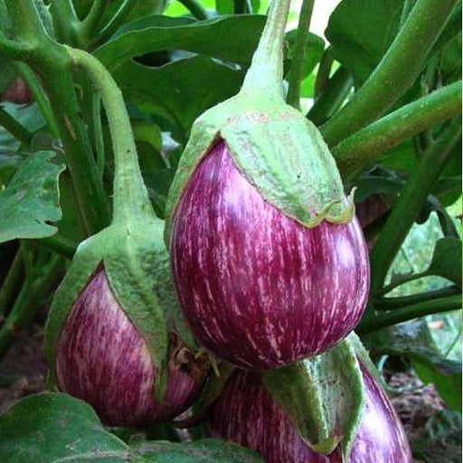 Brinjal CVK MK-124 - Vegetable Seeds - Nurserylive