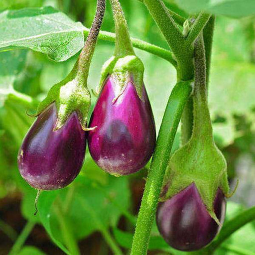 Brinjal F1 Hybrid Chu-Chu - Vegetable Seeds - Nurserylive