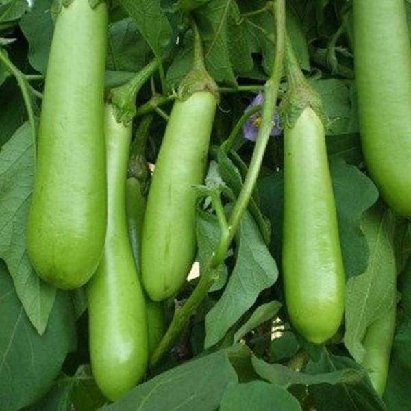 Brinjal F1 Hybrid Green Long - Vegetable Seeds - Nurserylive