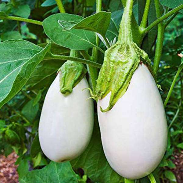 Brinjal F1 Hybrid White - Vegetable Seeds - Nurserylive