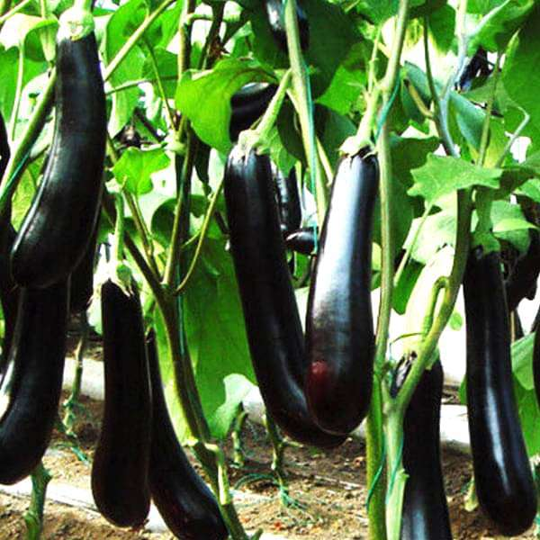 Brinjal F1 Purple Long - Vegetable Seeds - Nurserylive