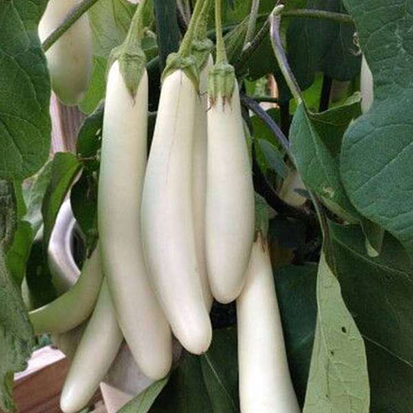 Brinjal F1 White Long - Vegetable Seeds - Nurserylive