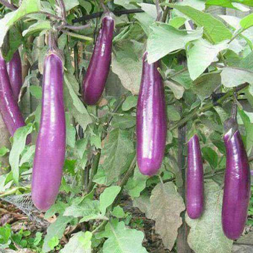 Brinjal Light Purple Long - Organic Vegetable Seeds - Nurserylive